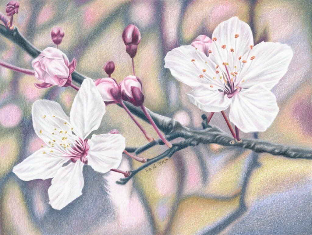 Cherry Blossom Colored Pencil Drawing By Kad Portraits