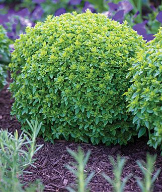 Boxwood Basil Tight Mounds Of Small Basil Leaves That Resemble Boxwood Plants Discovered In A Friend S Garden Even On One O Plants Basil Seeds Growing Herbs