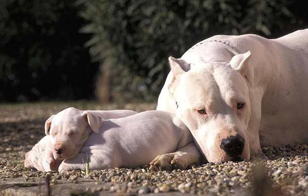 What A Beautiful Image Dogos Are Known For Being Extremely Loyal And Affectionate With Their Families Argentina Razas De Perros Perros De Caza