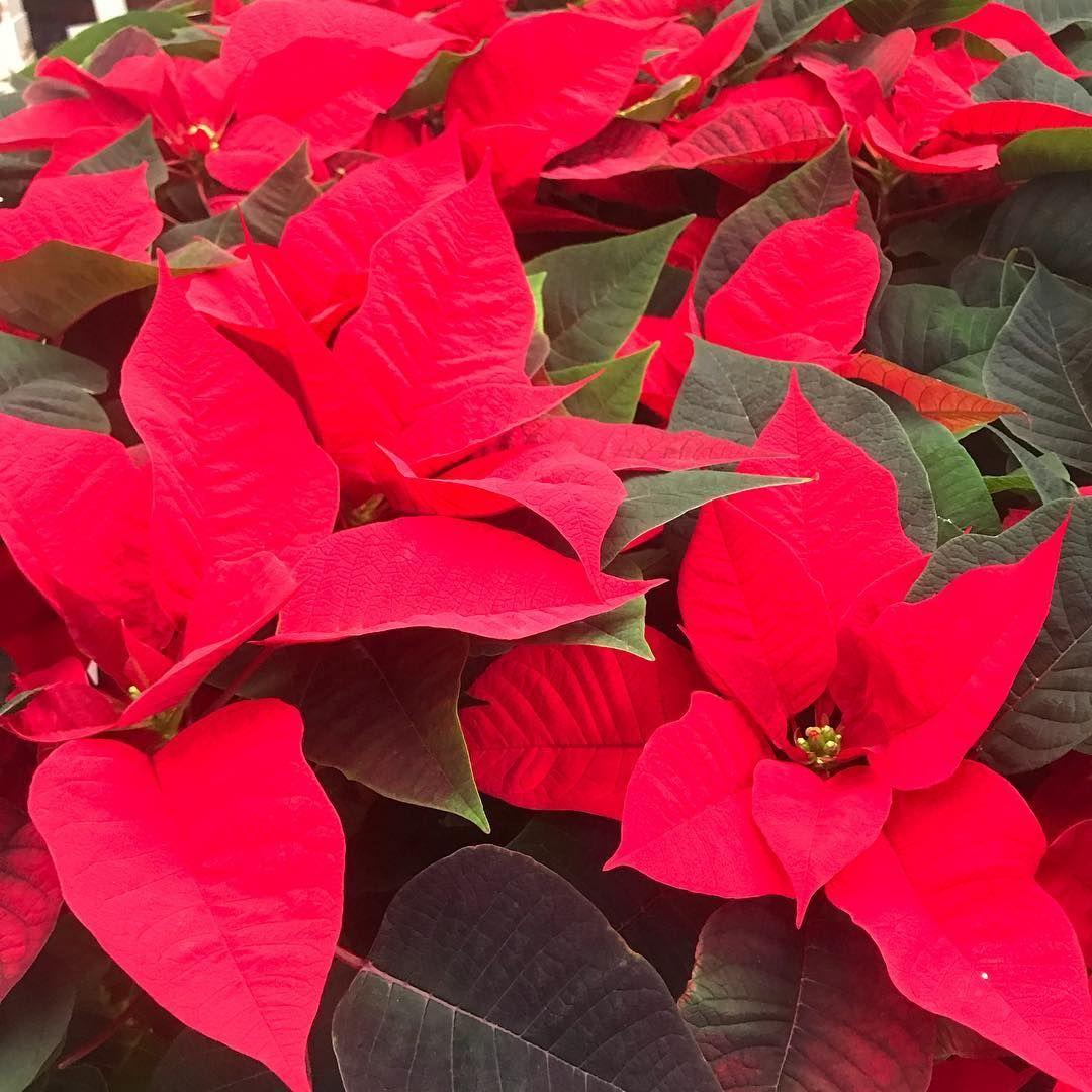 Christmas Poinsettias Urban Plant Life Garden Centre Dublin