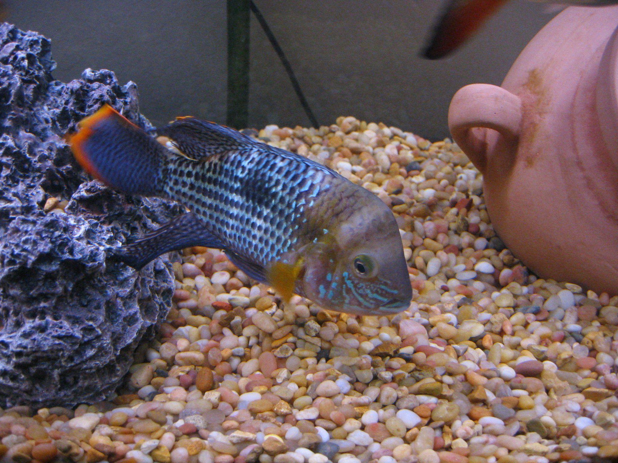 Cichlid Cichlids, Fish pet, Fish
