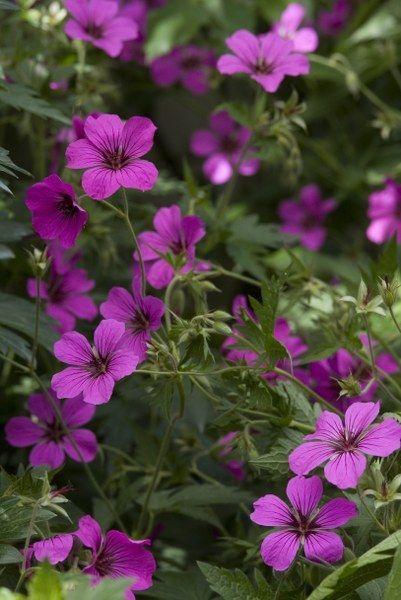 Geranium Patricia - combineert mooi in de borders met tinten lila, paars, bordeau als basis