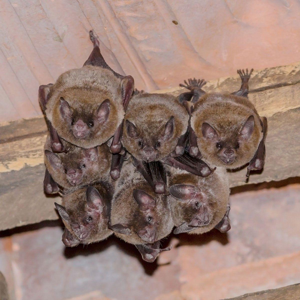 How to Prevent a Bat Problem Pest control, Mice
