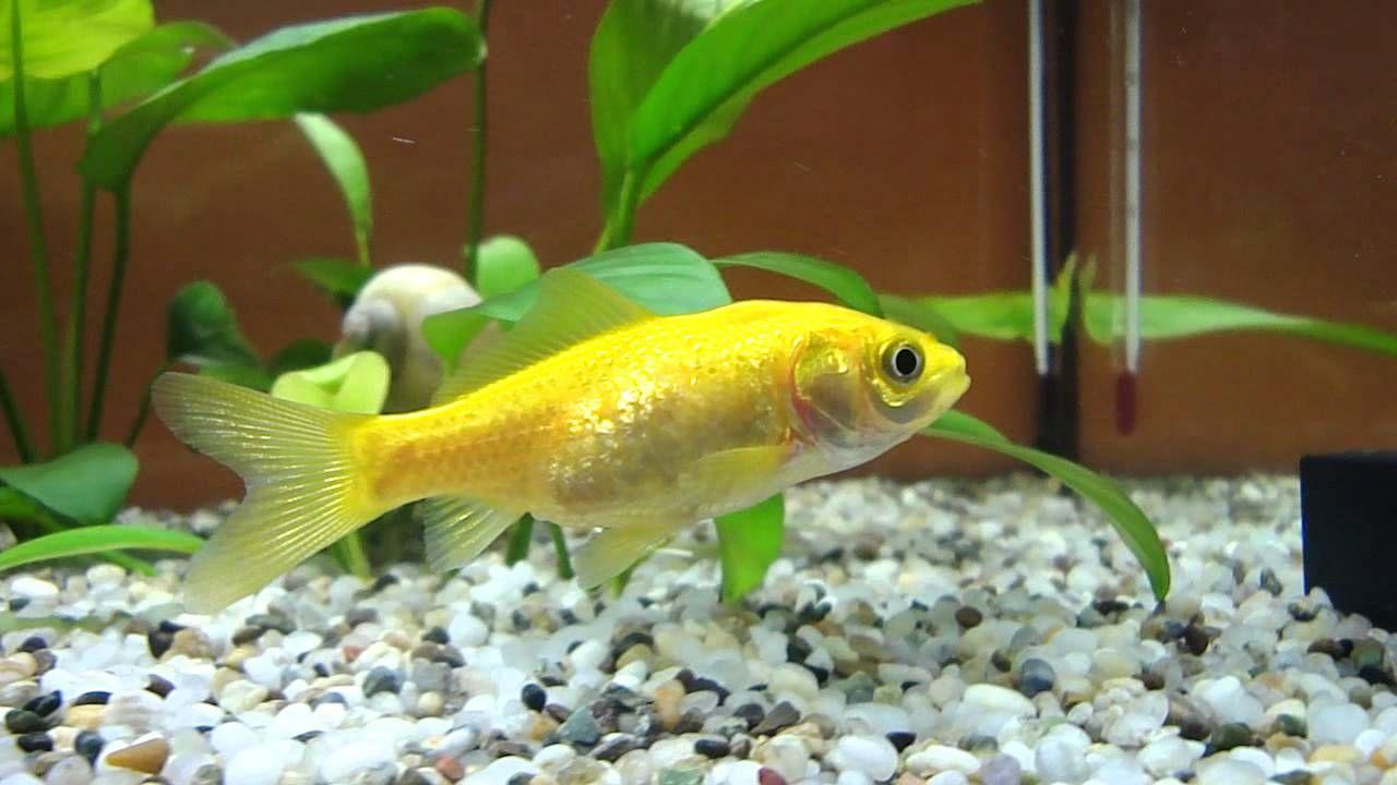 yellow comet goldfish - Google zoeken   Beautiful animals/too cute ...