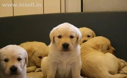 Kci Registered Labrador Retriever Puppies For Sale Lab Puppies