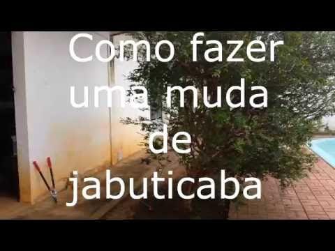 Como produzir mudas de jabuticaba através de sementes. - YouTube