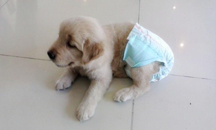 1 Month Old Golden Retriever With Images Old Golden Retriever