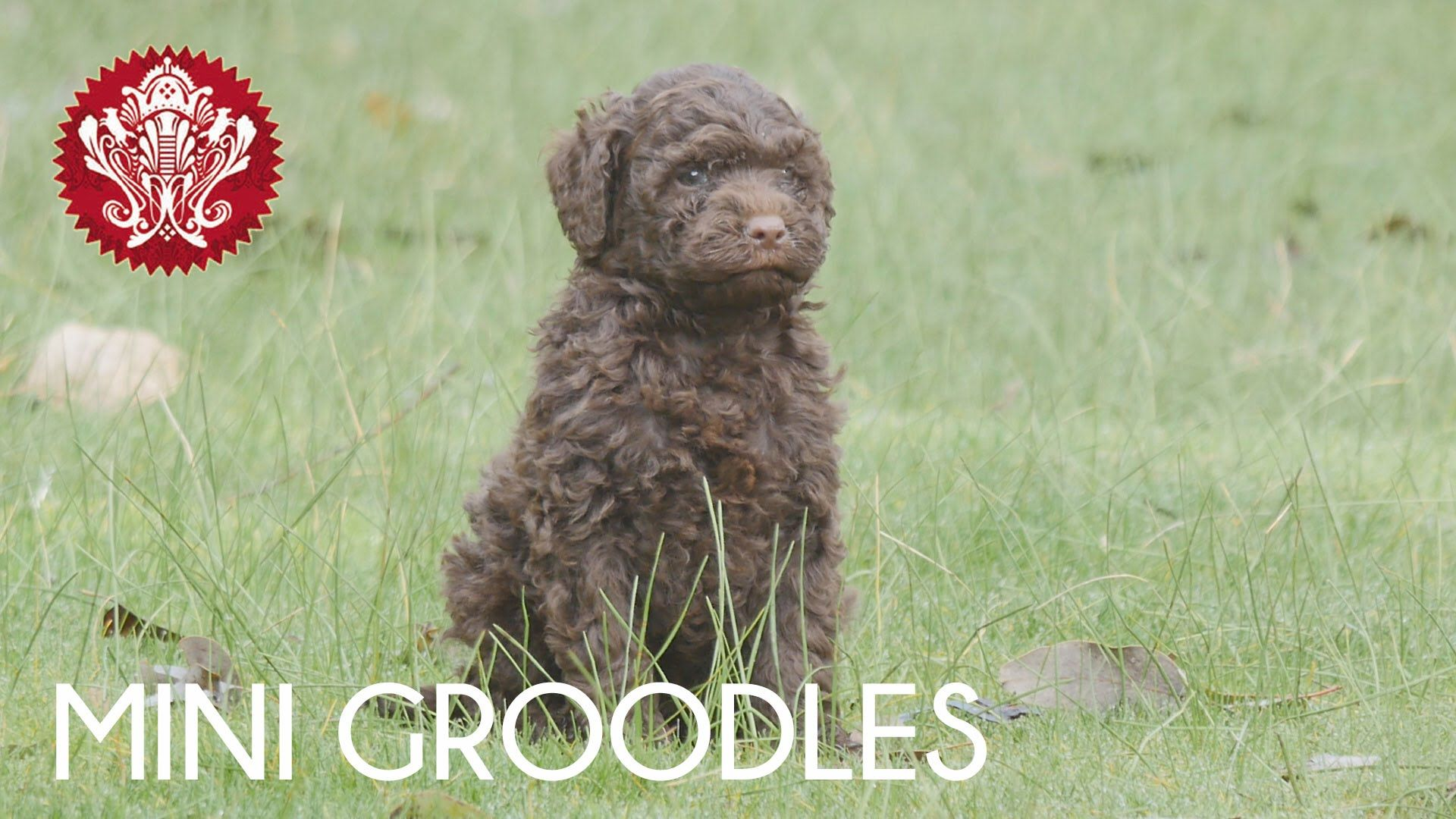 Mini Groodles Chevromist August 2015 With Images Puppy Play Japanese Spitz Mini