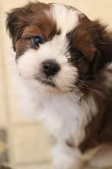 Bichon Shih Tzu Puppies Available Quality Bred Dogs Serving The