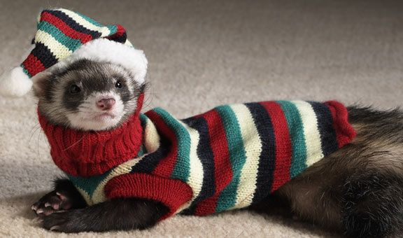 Christmas Ferret.Ferrets In Sweaters Omgthecuteness Ferrets In