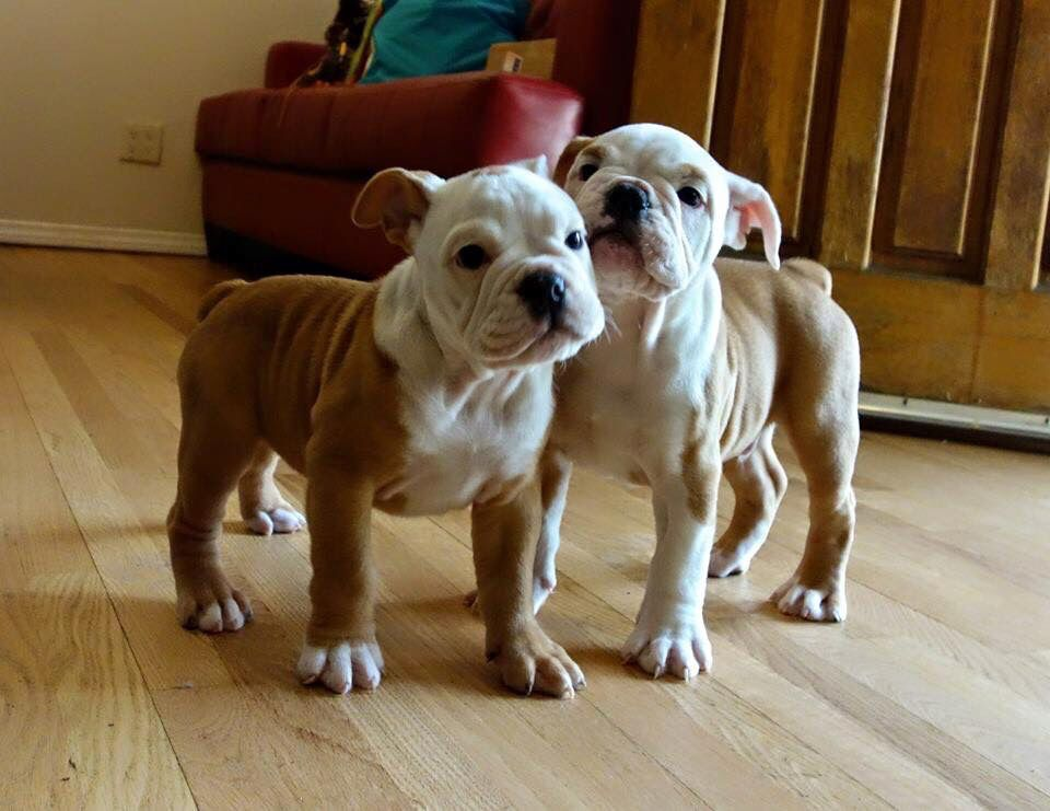 Pacific Bulldogs Playing American Pitbull Terrier Bully