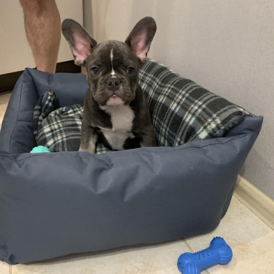Nash Malysh Obryol Lyubyashuyu Semyu Bllue French Bulldog Sale
