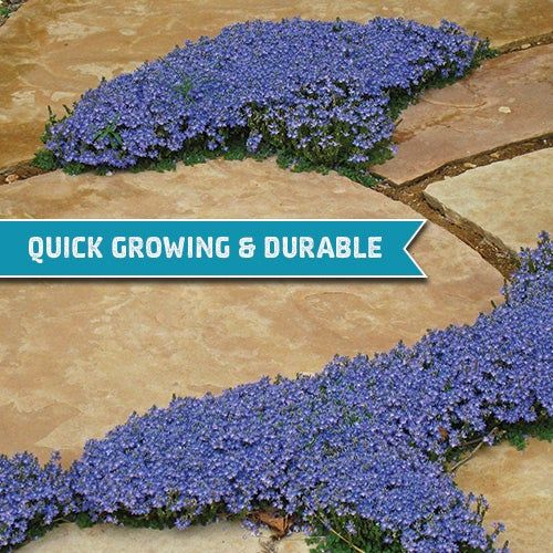 Groundcovers You Can Step On #outdoorgardens