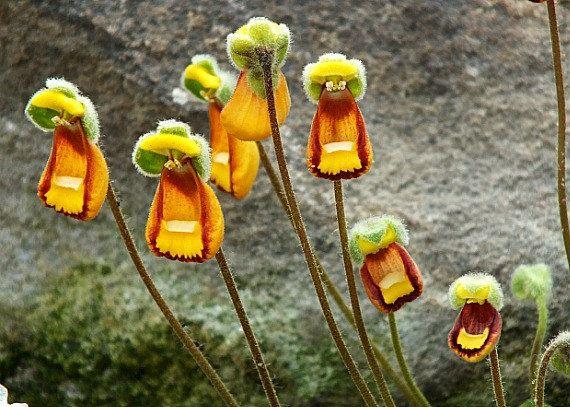 100 Lady Slipper Calceolaria Fothergillii Seeds por FancyGarden