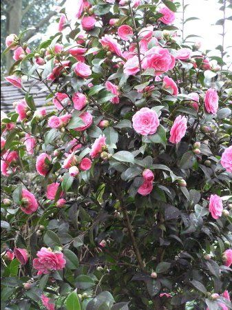 Camellia Japonica Doctor Tinsley Plants Pink Garden Trees To Plant