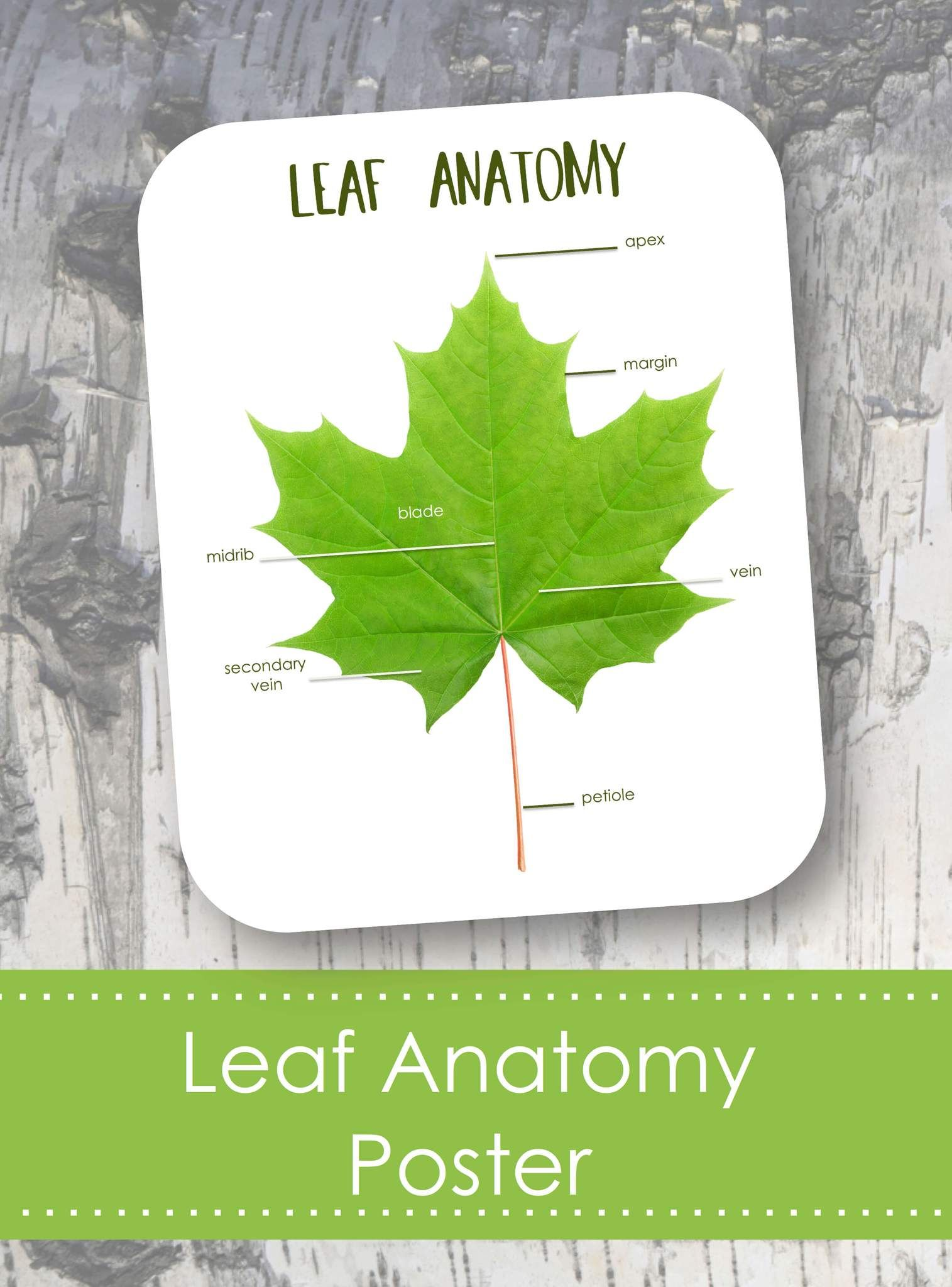 Leaf Anatomy Poster | Poster, Anatomy, Montessori science