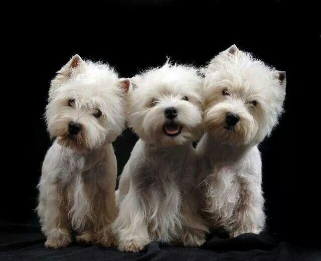 Kay Mcguire Westies Westie Dogs Westies West Highland Terrier