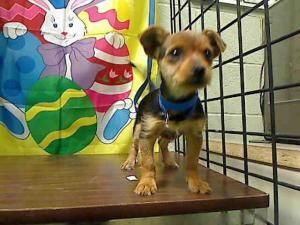 A420739 Urgent Moreno Valley Animal Shelter Adorable Puppy Is An Adoptable Terrier Dog In Moreno Valley Ca If You Are I Animals Animal Shelter Terrier Dogs