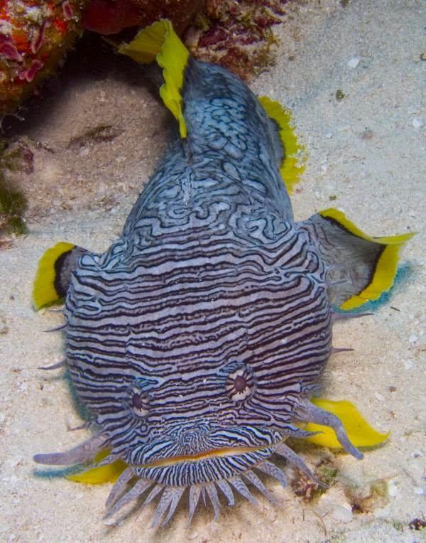 splendid toadfish sanopus splendidus found only in the waters