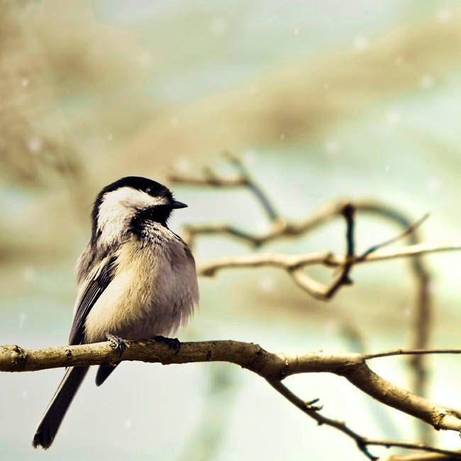 Bird Print, Chickadee, bird photo, Blue, Brown, Nature Photography ...