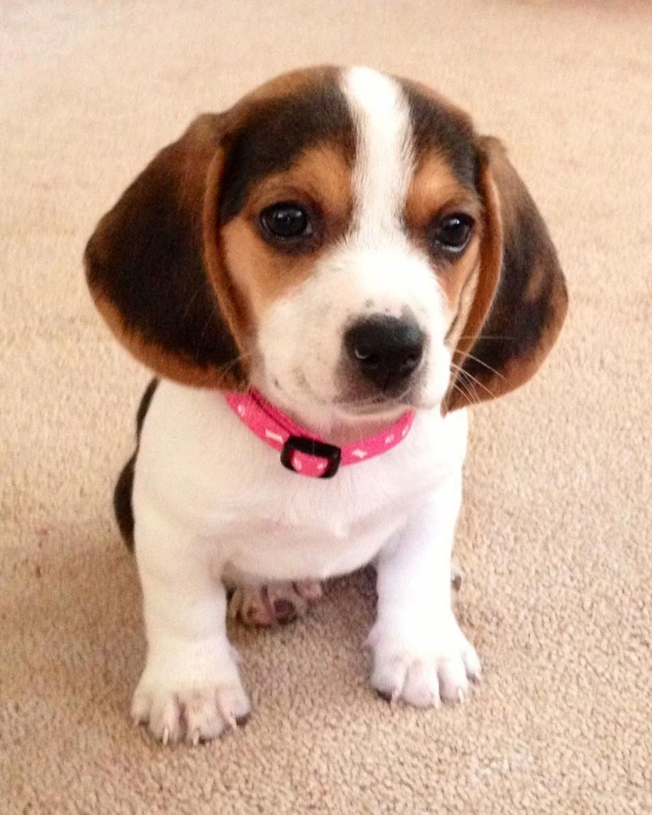 Beagle Friendly And Curious Cute Beagles Beagle Puppy
