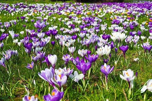 Gratis Billede Pa Pixabay Krokus Blomst Fruhjahrsbluher Planter Spring Gard