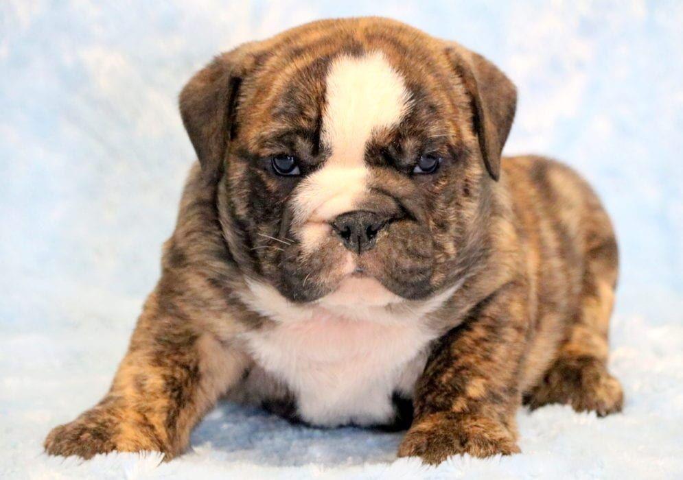 Bentley Black Pug Puppies Pug Puppies Puppies