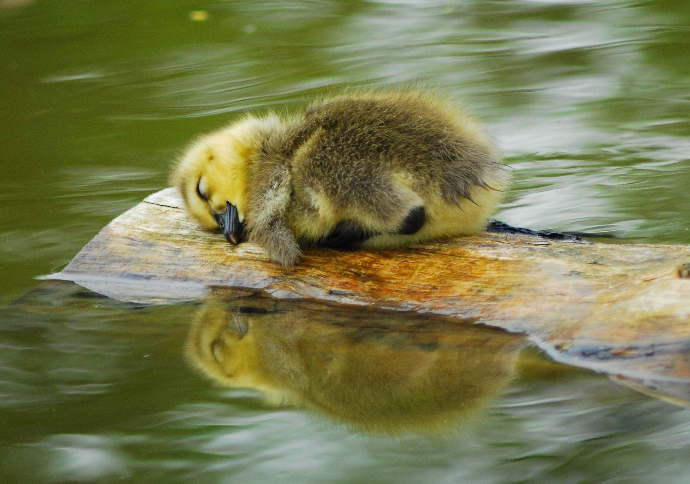 Adorable sleeping duckling cute animals animals cute