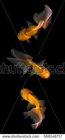 Goldfish isolated on black background,top view gold fish isolated on black background.