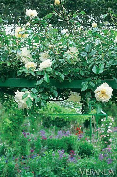 Beautiful rose plant