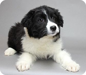 Bloomington, MN - Newfoundland Mix. Meet Callie a Puppy for Adoption.