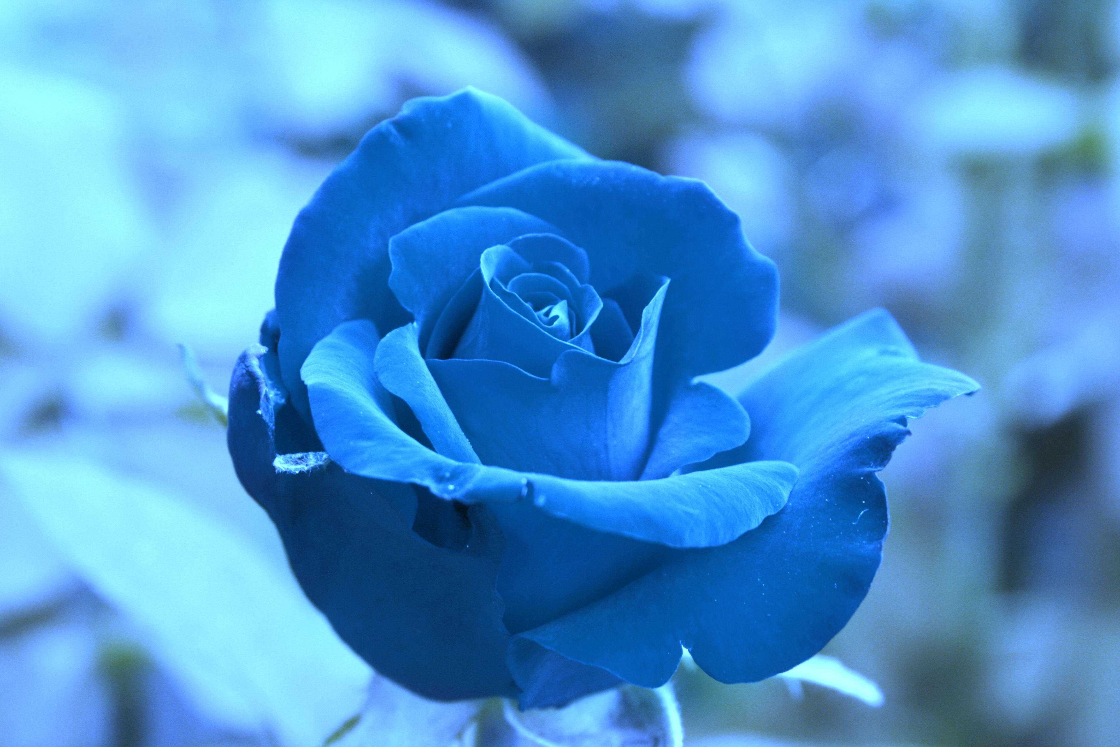Beautiful Blue Roses | ... Blue rose ♥, beautiful, blue, flower ...