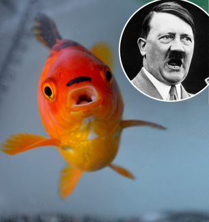 Meet Adolf Tiddler! You've seen the cat and house that look like him. . . now here's the Hitler goldfish