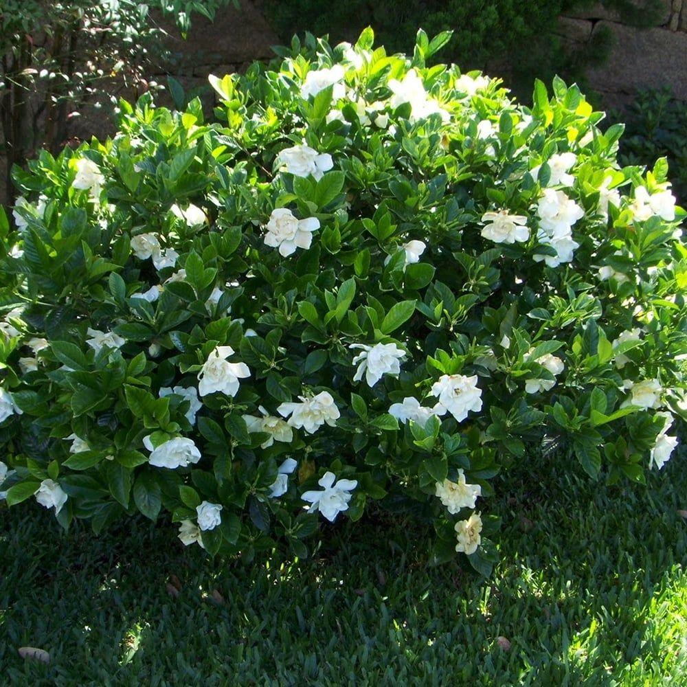 D Gardenia Jasminoides Kleim S Hardy Cape Jasmine Evergreen Potted Plants Plants Gardenia