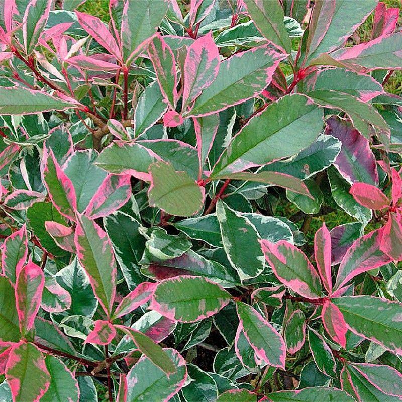 Photinia Pink Marble
