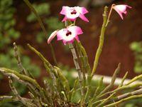 石斛Dendrobium loddigesii Rolfe