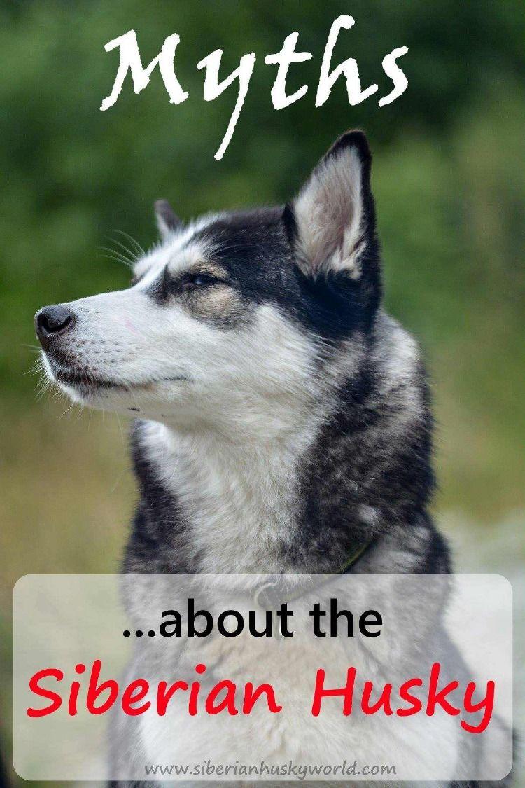 Myths About The Siberian Husky Siberian Husky Dog Husky Puppy