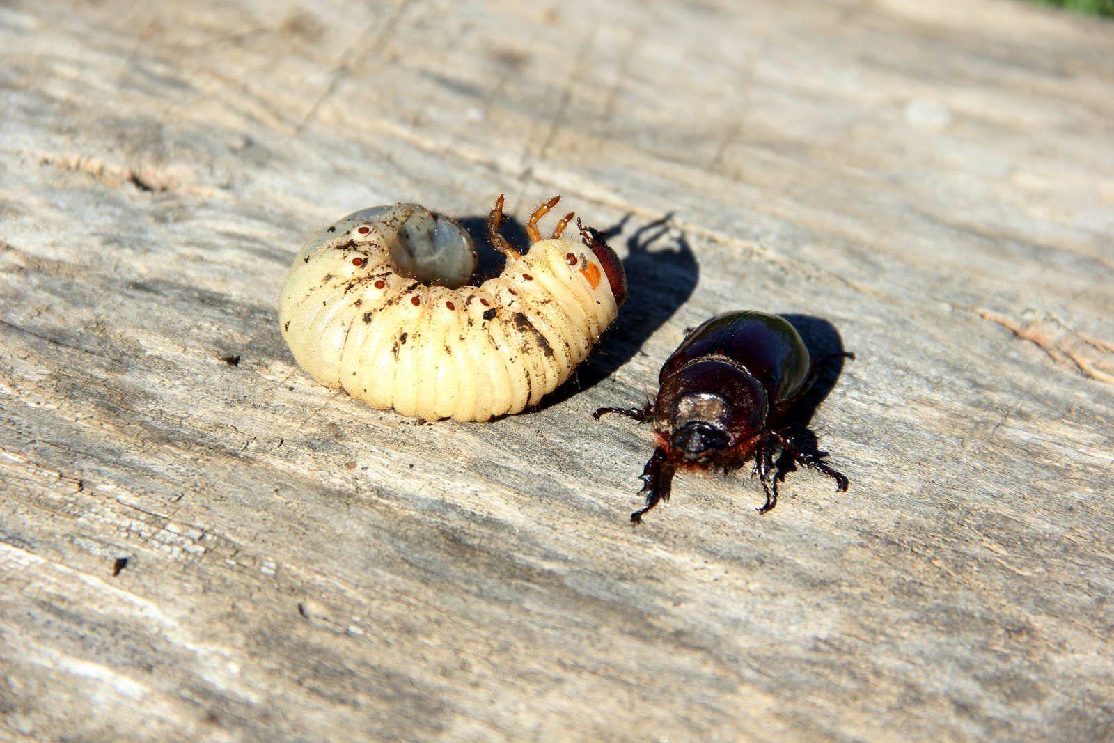Engerlinge Die Kaferlarven Bestimmen Bekampfen Engerlinge Schadlinge Im Garten Garten Bepflanzen