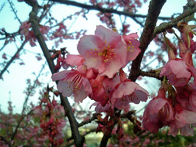 Blossom Cherry Blossoms In Winter By Nobuojp Via Flickr Cherry Blossom Blossom Winter