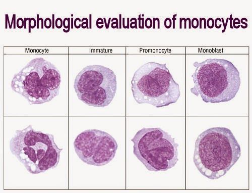 Morphological evaluation of monocytes Medical Laboratory and - medical evaluation