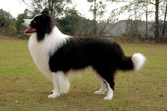 Akc Facts And Stats Dog Breeds Collie Dog Dogs