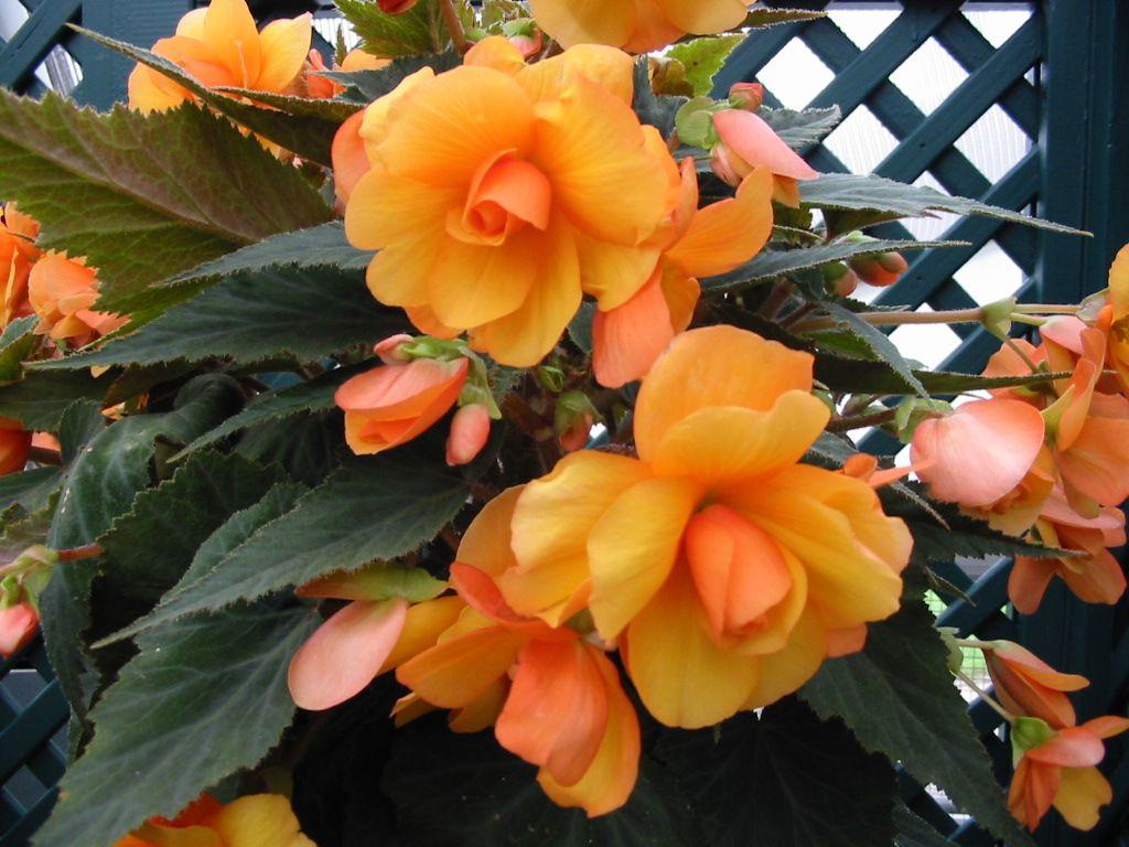 Begonia Download Close Ups Wallpaper Begonias