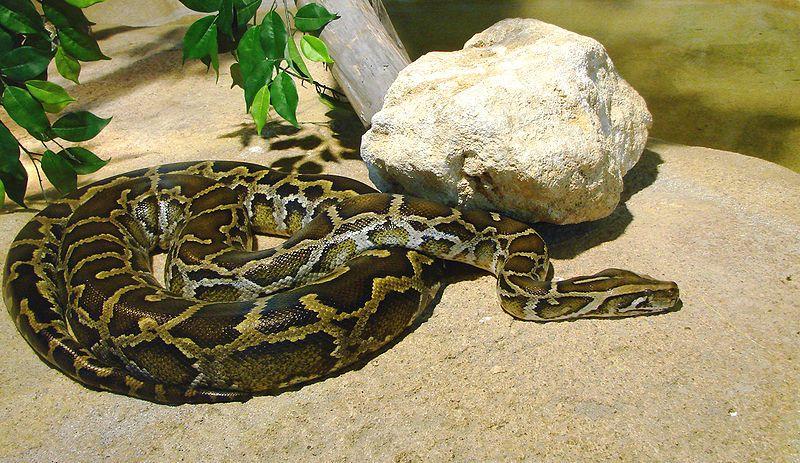 Python molurus is a large nonvenomous python species. It