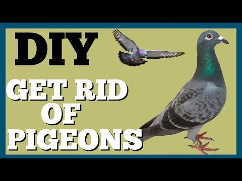 Trick To Get Rid Of Pigeons On Roof Dad S Den Youtube Get Rid Of Pigeons Pigeon Rid