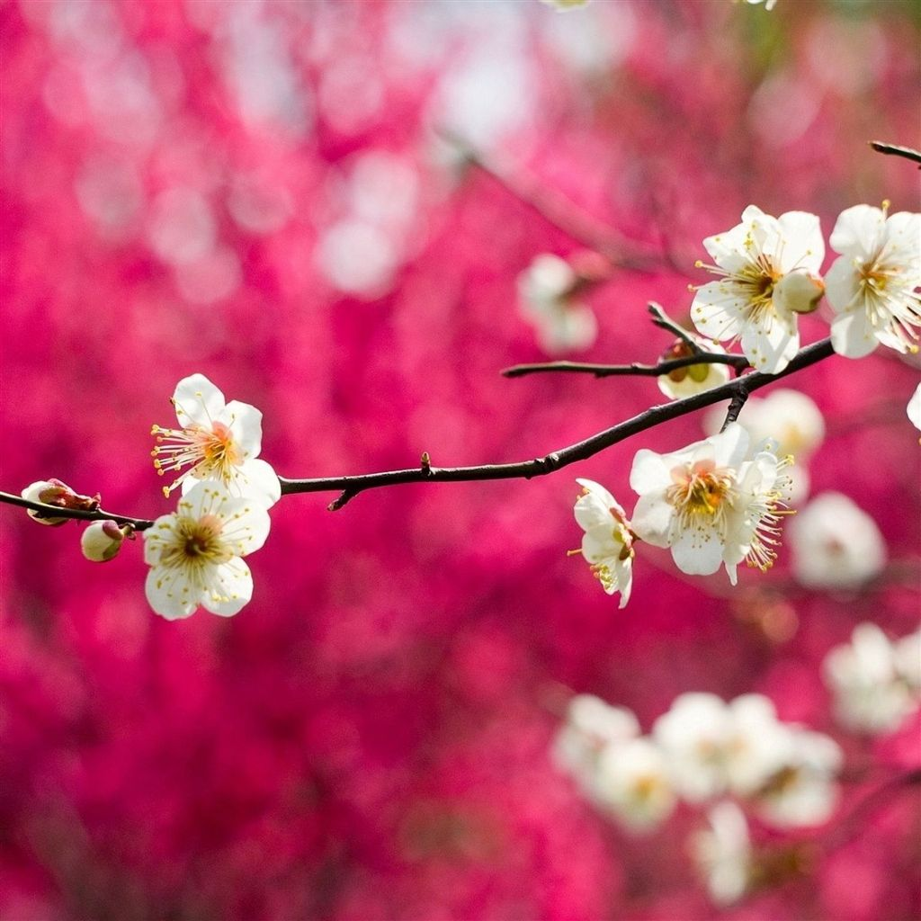 Spring White Blooms Ipad Air Wallpaper Spring Flowers Wallpaper Best Flower Wallpaper Cherry Blossom Wallpaper Flower wallpaper for ipad air