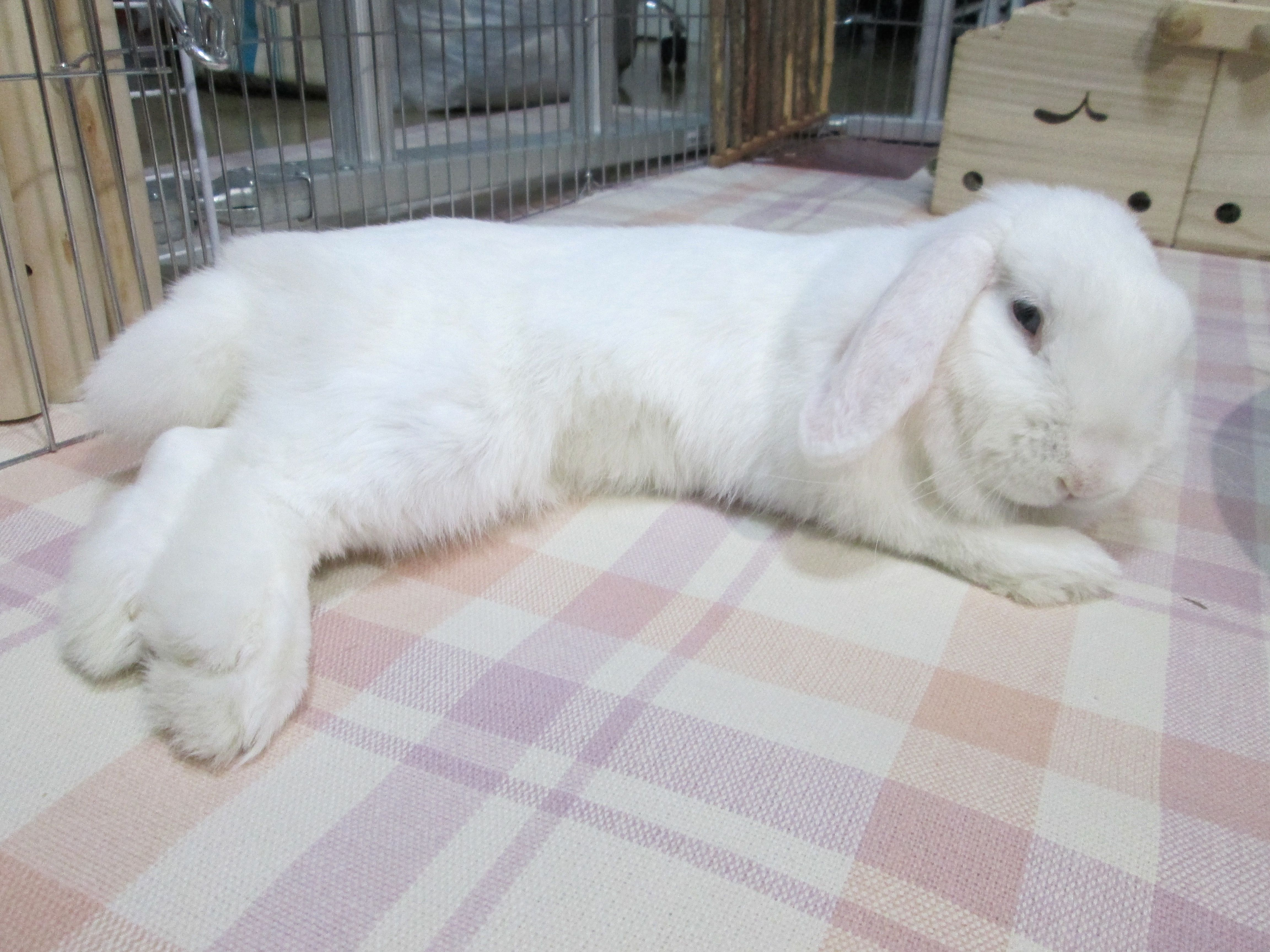 Holland Lop Blue Eyed White Rabbit Usa Holland Lop Bunnies Bunny Rabbit