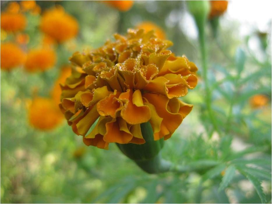 Most Popular Flowers this the most popular flower in nepal. it is called sayapatri in