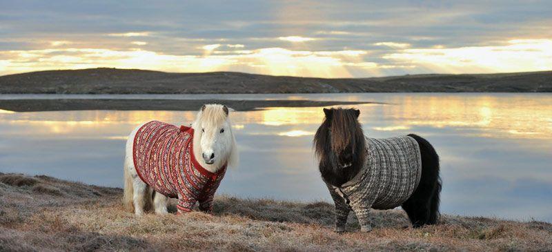 c8bb1246c0 Sara Lund-truien-weer. Scotland s Shetland Ponies Rug Up ...