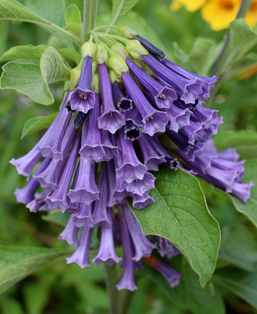 Blue Iochroma  angel trumpet blue  flower hummingbirds love  this flower