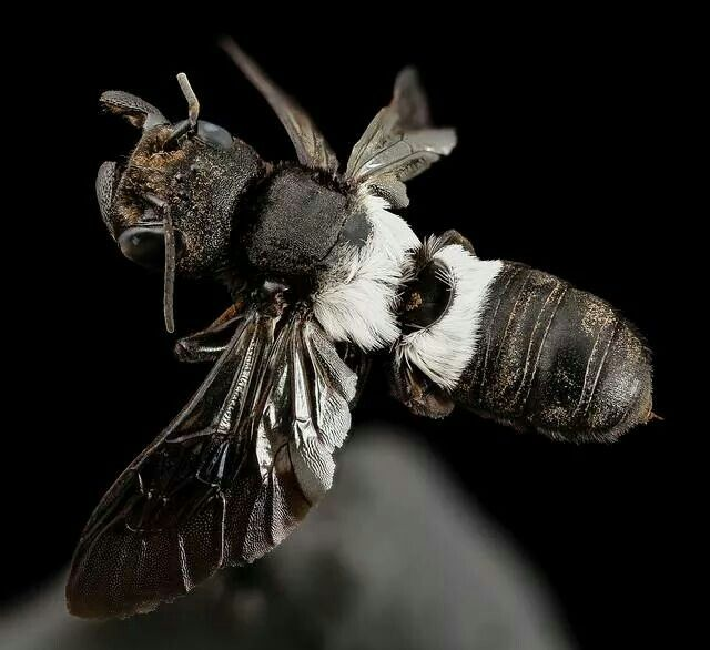 Banded leaf cutter bee